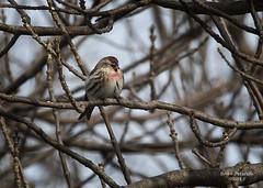 Common Redpoll (Gordilly) Tags: bird nature nebraska wildlife fringillidae buffalocounty commonredpoll acanthisflammea rowesanctuary acanthis sigma120400mmf4556apodgos 7d1001455