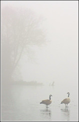 Geese on ice (stephen dutch BDPS) Tags: winter lake ice birds geese cheshire goose canadageese redesmere