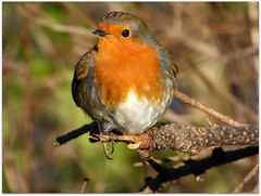 Bobby the Robin in Dunkeld (eric robb niven) Tags: nature robin scotland rivertay dundee wildlife perthshire dunkeld wildbird scottishwildlifetrust ericrobbniven