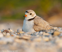Covering (v4vodka) Tags: nature animal wildlife chick birdwatching plover pipingplover shorebird charadriusmelodus pipingploverchick birdbirding sieweczkablada