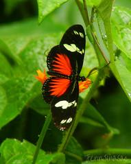 Doris Longwing (Jenn Sinasac) Tags: butterfly lepidoptera panama heliconian nymphalidae longwing dorislongwing heliconiusdoris
