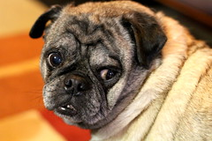 Jack (Beauty can be seen in all things.) Tags: dog pets silly pug cutie