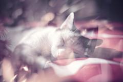 Merlin au pays des songes... (L'Ubuesque Bote  Savon) Tags: red cat rouge nikon chat bokeh dream explore sleepy dreams sleepycat rve rves petzval artlens