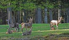 Hirsche nach jeder Richtung aufmerksam (waidlerwiki) Tags: reddeer bayerischerwald bayerwald bavarianforest nationalparkbayerischerwald hirsche rothirsch altschnau tierfreigelnde bavarianforestnationalpark landkreisfreyunggrafenau