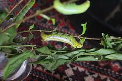 IMG_0055 (J_turner6) Tags: hawk moth caterpillar oleander daphnis nerii