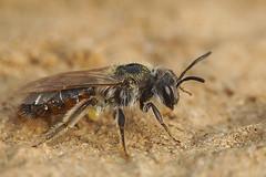 Andrena ventralis at Kanaalbermen Bellem (henk.wallays) Tags: