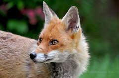 'Flo' in her prime... (Ian A Photography) Tags: nature animals portraits fox mammals redfox ukwildlife goldwildlife britishanimals