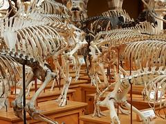 Skeletons 'r Us (mikecogh) Tags: collection oxford bones skeletons pittriversmuseum