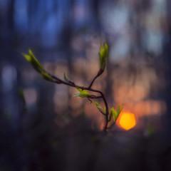 Spring is here (Olli Tasso) Tags: sunset tree green leaves suomi finland leaf spring branch dof awakening may shallow tampere lehti kevt toukokuu oksa
