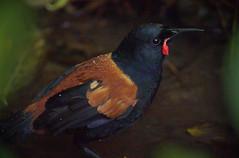IMGP1255 Saddleback (Tieke) after bathing Zealandia Wellington NZ 05-06-16 (Donald Laing) Tags: new birds native donald zealand wellington sanctuary laing zealandia