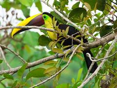 P4278768 (lychee_vanilla) Tags: bird animal toucan costarica tier tucn blackmandibledtoucan ramphastosambiguus vigel quioro tucnpiconegro
