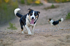 DSC_1757T (juliannahiaasen) Tags: portrait dog pet dogs animal training photography bordercollie australianshepherd dogphotography dogtraining dogportrait dogphotographer