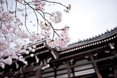 -  (Vince-leo) Tags: plant japan spring kyoto    sakura cherryblossoms kansai        nikond810