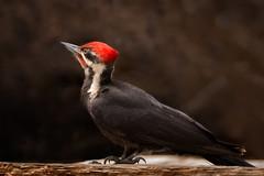 Pileated Woodpecker (alicecahill) Tags: california wild bird animal nationalpark woodpecker wildlife yosemite yosemitenationalpark sierranevada pileatedwoodpecker alicecahill