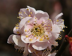 ume (jumbokedama) Tags: roses bees fullmoon cherryblossoms camellia bumblebees wisteria japaneseroses plumblossoms japaneselanterns japaneseflowers moonpictures beesonflowers japanesescenery viewsofjapan rosesofjapan