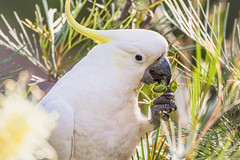 Cockatoo  - Meal Time - (satochappy) Tags: food sydney parrot australia meal nsw cockatoo grevillea sulfercrestedcockatoo