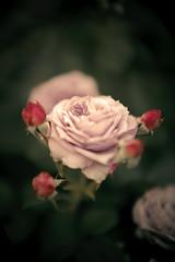 2016099 (gwagwa) Tags: pink red green rose 50mm bokeh f095 mitakon