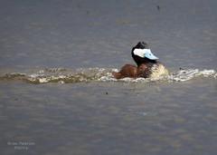 Ruddy Duck (Gordilly) Tags: bird nature duck nebraska wildlife ruddyduck anatidae sheridancounty t1012535 oxyurinaejamaicensis