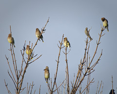 Gathering of Cedar Waxwings (David Uthe) Tags: nature wildlife colony perching