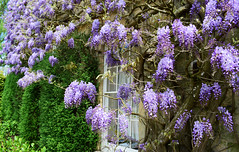 Hammerwood House - Sussex (Mark Wordy) Tags: westsussex wisteria ngs nationalgardensscheme opengarden iping hammerwoodhouse
