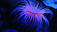 Hexacorallia - Seeanemone - Aquarium (@dio) Tags: blue black color water aquarium meer blau tier unterwasser