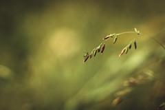 """I Alone"" (Joe Effendi) Tags: color nature june closeup fauna flora fuji dof bokeh outdoor live depthoffield m42 extensiontube 2016 effendi vintagelens donkereduinen fujinon55mmf22 fujifilmxe1"