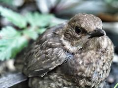 Blackbird fledgling (Mirrorlessview) Tags: macro bird t olympus 60mm blackbird f28 omd omdem5ii olympusomdem5mkii