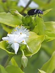 P5232164 (eriko_jpn) Tags: insect whiteflower beetle wildflower
