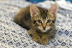 Hunter (Save-A-Pet Adoption Center) Tags: male cat kitten tabby foster hunter 2016 saveapet robynslitter