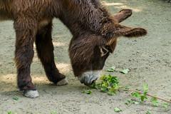 Esel (JBsLightAndShadow) Tags: zoo nikon donkey heidelberg tiergarten esel zooheidelberg tiergartenheidelberg nikond3300 d3300