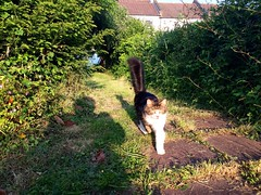 Lola steps out (Boxley) Tags: london sunshine cat garden evening tabby pussycat moggy eltham domesticlonghair