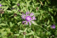 20-06-2016 015 (Jusotil_1943) Tags: 20062016 morada flores silvestres wildflowers