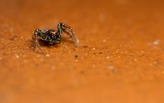 Xysticus sp. - male (markhortonphotography) Tags: macro male spider arachnid surrey crabspider deepcut surreyheath xysticus markhortonphotography thatmacroguy