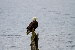 IMG_4110 (mechlerphotography) Tags: bald eagles comox