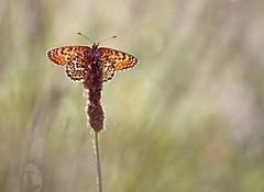 Patience , the sun comes .. (isabellebienfait1) Tags: butterfly drew papillon ambiance sigma105 rose melitaeacinxia macrodreams mlitduplantain damierduplantain isabellebienfait mlita
