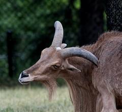 Got an itch? (jmaxtours) Tags: toronto ontario zoo goat itchy torontozoo gotanitch