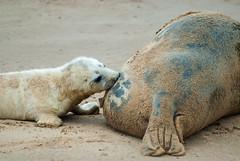 Seals (peter_hill7) Tags: cute coast wildlife seal seals coastline britishwildlife greyseal sealpup greyseals donnanook ukwildlife britishcoastline ukcoastline