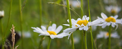 IMG_0112 (Teekanne2) Tags: light summer sun white plant flower green nature yellow licht blossom outdoor sommer natur pflanze gelb grn blume blte sonne marguerites margeriten weis drausen