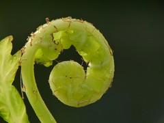 Ein Farnblatt entrollt sich - Durchmesser 11 mm (zikade) Tags: fern grn farn gegenlicht einfarnblattentrolltsich