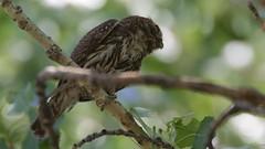 Northern Pygmy-Owl | Southwest Research Station | TAS Bluebird Survey | Portal | AZ | 2016-06-10at09-28-204 (HarmonyonPlanetEarth) Tags: nature birds slideshow