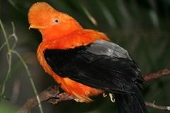 بالصور: الغرور والجمال في أعراف الطيور (www.3faf.com) Tags: من في على أكبر العالم ثاني أكثر طيور بالصور الطيور الجمال ملك صوت هدهد عملاق غرور ديك طائرالطنان أعرافالطيور طائرتوراكوغينيا