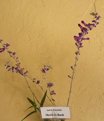 Salvia Mexican Bush