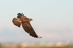 Swainson's hawk inflight (Light & Shadows ( Extremely busy )) Tags: up inflight nikon hawk predator bif swainsonshawk d4 swainsons ailerons nikond4 nikon400mmf28 aileronsup