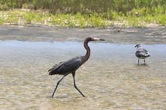 reddish_egret_rockport_7Dii0799 (cold_penguin1952) Tags: birds wetlands egrets