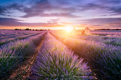 LAVENDER IN SOUTH OF FRANCE (beatricepreve) Tags: blue light sunset summer sun plant france flower beautiful beauty field lines square french landscape outdoors countryside colorful purple scenic magenta violet lavender sunny nobody rows fragrant provence picturesque lavande abundance herbal scent azur fragrance aroma blooming scented aromatherapy alpesdehauteprovence valensole provencealpescote lavendin