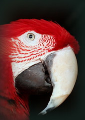 Rama (goldengirl 2011) Tags: bird animal macaw rama govindas tucsonarizona katharinehanna chaitanyaculturalcentertucson