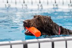 GY8A8470.jpg (BP3811) Tags: dog wet water pool swim hair virginia jump ultimate air richmond toss fetch throw riverrock dominion retrieve vatech