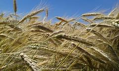 20giugno04 (Londrina92) Tags: summer sky nature field estate outdoor wheat clear cielo campo lombardia terso grano lombardy spighe