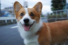 EIN (luckyno3) Tags: dog animal pembrokewelshcorgi
