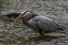 The day's catch (Fred Roe) Tags: heron nature birds wildlife birding birdwatching greatblueheron birdwatcher ardeaherodias peacevalleypark nikonafsteleconvertertc14eii nikond7100 nikkorafs80400mmf4556ged lca71d0069